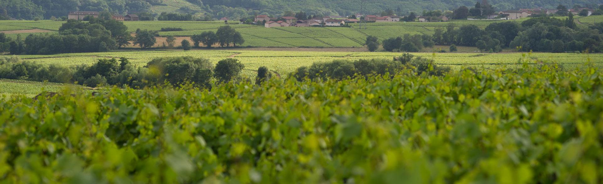 paysage-vignes-domaine-hamet-spay-st-amour